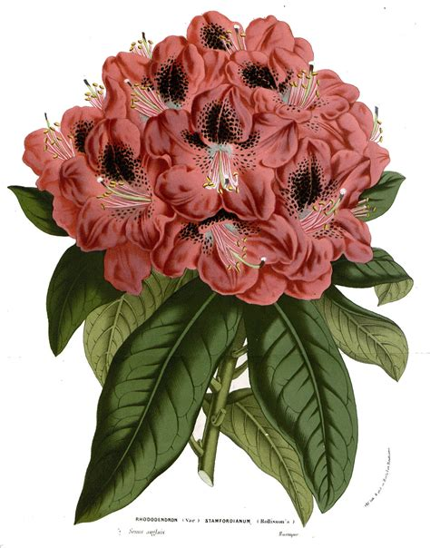 Rhododendron — Wikipédia