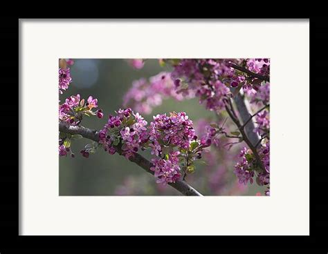 Cherry Blossoms Framed Print by Dale Kincaid