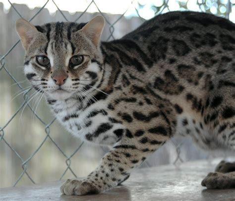 Asian (cat) - Information, Health, Pictures & Training Pet Paw